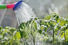 10 Quick Tips For A Successful Patio or Apartment Garden watering-garden Marijuana Plants, Cannabis Plant, Cannabis Growing, Water Plants, Water Garden, Lawn And Garden, Veg Garden, Vegetable Gardening, Organic Gardening