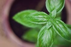 Make Your Garden's Basil Last All Year--Preserve that bumper crop for summer-fresh flavor no matter the season.