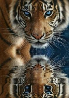 On 'reflection ' I believe this image is totally real and not photoshopped ? , usually big cats loose the vivid blue eyes shortly after they are no longer cubs , but occasional rare genetic traits allow the deep blue eye colour to continue into adulthood