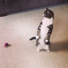 15 Cats Who Prefer To Stand, Thank You Very Much