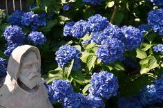 St. Francis and my hydrangea.