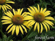 Forestfarm Black Eyed Susan, Plant Nursery, Summer Garden, Garden Planning, Maui, Perennials, Oregon, Garden Design, Bloom