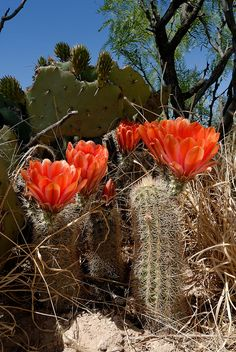 Echinocereus xlloydii, USA, Texas, Pecos Co.  More Pictures at: http://www.echinocereus.de