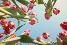 Piros tulipán mezeje alulról Sandra Keereweer