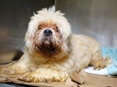 Manhattan Center   LENNY - A1025669   NEUTERED MALE, CREAM / WHITE, LHASA APSO MIX, 7 yrs OWNER SUR - EVALUATE, NO HOLD Reason TOO MANY P  Intake condition GERIATRIC Intake Date 01/17/2015 https://www.facebook.com/photo.php?fbid=946313352048211