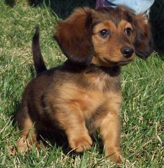 dachshund puppy....I need this sweet thing!!!!