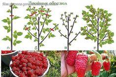 Урожайная обрезка малины по Соболеву