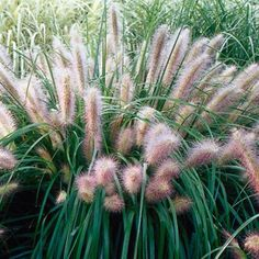 Deer resistant Red Head Fountain Grass offers wonderful TEXTURE in the landscape! Its upright green foliage and bottle-brush ROSE colored plumes will brighten any garden. Plant in full sun. BONUS: wonderful winter interest, too! Height: 24-36″/Width: 18-24″ Hardiness zone: 5a-9b ✿ May all your gardens grow!