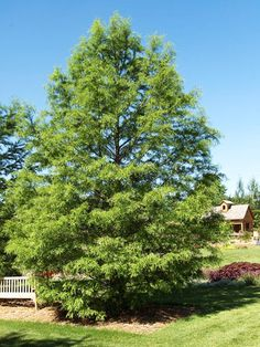 Dawn Redwood-Zone 6
