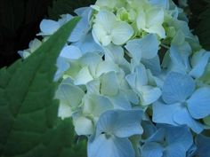 This is the Blue cream hydrangea that i am stuck on.  It was one of the cheapest flowers at the time of my wedding and it came with memories (my mom and his had hydrangea plants)... shortly after wedding my mom bought me my very first Hysdrangea of this color and i love it!!