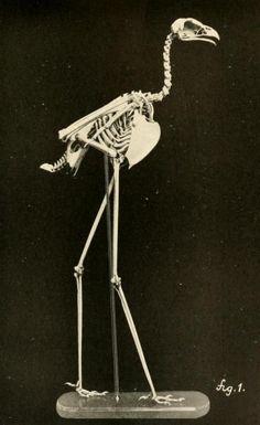 Sagittarius serpentarius skeleton from Osteology of Birds by R. W. Shufeldt, 1909