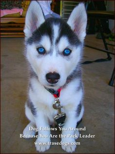 Wonderful All About The Siberian Husky Ideas. Prodigious All About The Siberian Husky Ideas. White Husky Puppy, Husky Puppies For Sale, Rottweiler Puppies, Cute Puppies, Cute Dogs, Baby Huskies For Sale, Blue Eyed Husky Puppy, Blue Husky, Puppy Husky