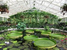 "Giant ""Victoria Regia"" waterlilies at Kew Gardens"