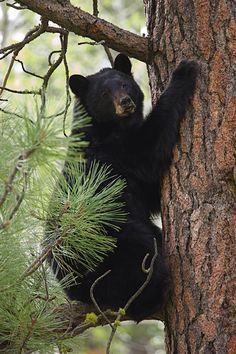 Black bear climbing a tree in the Smokies