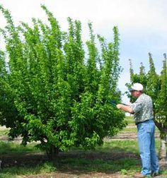 Backyard Orchard Culture Means Understanding The Reasons For Pruning