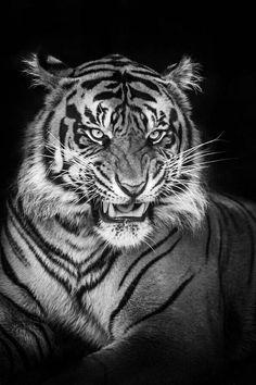 Tiger - Justin Lo