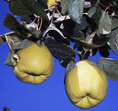 Hihetetlen, hogy mennyi betegségből képes kigyógyítani a birsalma Eggplant, Onion, Pear, Herbs, Fruit, Vegetables, Health, Garden, God