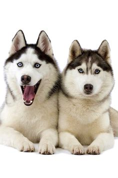 """I found this pic on a app called """" husky wallpapers"""""""