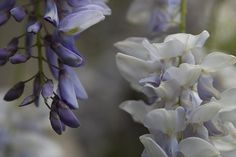 The beautiful, but poisonous Chinese Wisteria (Wisteria sinensis). Toxic to humans and often deadly to native vegetation, including trees and shrubs.