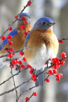 Bluebird - Two male Bluebirds.