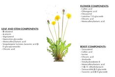 Dandelion Leaves and Root Tea Benefits In Type 2 Diabetes. Try Dandelion leaves and dandelion tea. Dandelion Leaves, Taraxacum Officinale, Diabetes In Children, Low Blood Sugar, Tea Benefits, Oxidative Stress, Alternative Treatments