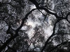 A gray sky through the camphor trees.