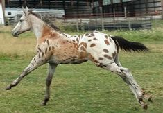 Interesting pattern of spots! Pretty Horses, Beautiful Horses, Spotted Horse Breed, Baby Horses, Appaloosa Horses, Horse Photos, Horse Girl, Horse Breeds, Zebras