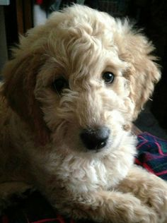 Looks exactly like my golden doodle Lilly :)