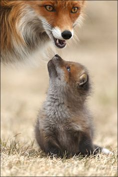"deepsoulfury:""Red Fox with cute Red Fox Cub – Wildlife"" deepsoulfury: ""Rotfuchs mit süßem Rotfuchsjungem – Wildlife"" Cute Baby Animals, Animals And Pets, Funny Animals, Wild Animals, Funny Dogs, Mother And Baby Animals, Funny Humor, Farm Animals, Amazing Animals"