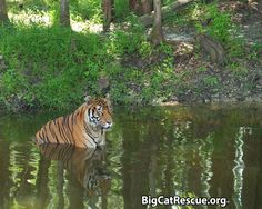 Why don't you just set the big cats free?   Find out why at http://BigCatRescue.org/gofree/