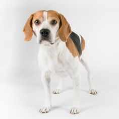 Scooby  s a Beagle mix who is available for adoption at our Mission campus!