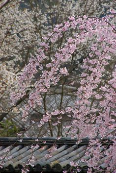 When I go to Kyoto, (or anywhere) Japan I hope it's cherry blossom season.  So lovely!