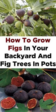 How To Grow Figs In Your Backyard And Fig Trees In Pots Fruit tree garden, Fruit trees backyard, Pot Fruit Tree Garden, Garden Trees, Garden Pots, Fig Fruit Tree, Dwarf Fruit Trees, Organic Gardening, Gardening Tips, Gardening Vegetables, Gardening Quotes