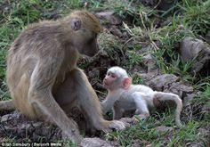 Pleading: A baby baboon crawls towards its mother