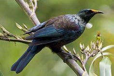 Tui bird | Patrick Collects