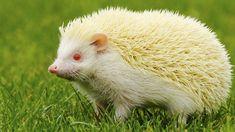 Albino-Igel sind durch die Mutation nicht zwangsläufig beeinträchtigt (Quelle: Thinkstock by Getty-Images)