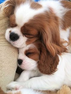 All the things I admire about the Playfull Cavalier King Charles Spaniel Pups Cute Baby Dogs, Cute Dogs And Puppies, I Love Dogs, Doggies, Funny Puppies, Puppies Puppies, Adorable Puppies, King Charles Puppy, Cavalier King Charles Dog