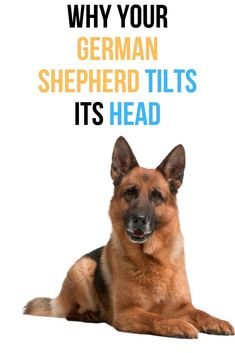 This post will show you why your German Shepherd tilts its head. German Shepherd Facts, Long Haired German Shepherd, Female German Shepherd, German Shepherd Puppies, German Shepherds, House Breaking A Puppy, Dog Information, Dog Cages, Dog Training Tips