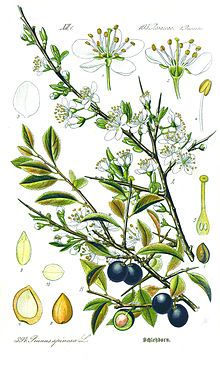 Sloe (Prunus spinosa) flower, fruit, seed and leaves as illustrated by Otto Wilhelm Thomé (1885)