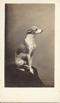 c.1870 cdv of beautiful whippet sitting patiently for his portrait to be taken.  Photo by Simon Towle, 88 Merrimack St., Lowell, Mass. From bendale collection