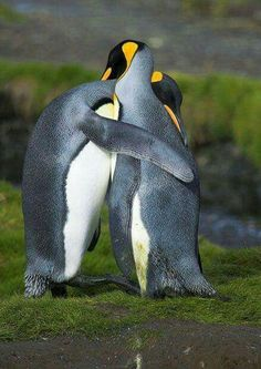 Since I love penguins, this is one of my faves! penguin love and forgiveness :) Penguin Hug, King Penguin, Penguin Love, Penguin Craft, Penguin Parade, Animals And Pets, Baby Animals, Funny Animals, Cute Animals