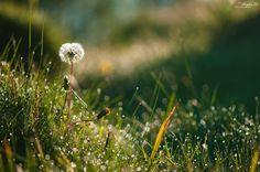 Dandelion by Bogdan D Photographer on 500px