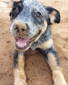 Aussie Cattle Dog, Austrailian Cattle Dog, I Love Dogs, Cute Dogs, Animals And Pets, Cute Animals, Dog Rules, Beautiful Dogs, Beautiful Pictures