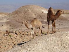 https://flic.kr/p/o6xynp | Dromedar im Negev Israel | Camelus dromedarius auch