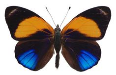 Callithea davisi  Brush-footed Butterfly
