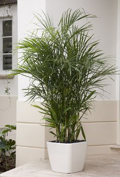 Reed Palm (also called cane bamboo) features graceful stalks topped with beautiful dark green, feathery leaves. Bamboo palms can thrive in almost any room in the house. Our bamboo palms are raised in low light conditions so that when they are placed in your home, they adapt instantly. This palm is planted in a white self-watering Lechuza planter for high-style with easy-care practicality.  Botanic name: Chamaedorea seifrizii Care tip: Prune yellow or brown leaves with sharp shears.