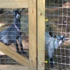 Meet Oliver and Delilah, our pet pygmy goats, and see how we built our new goat pen.