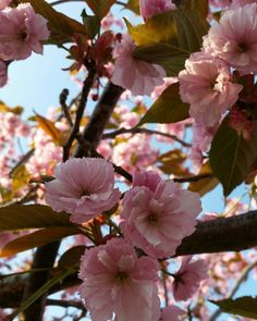 Hoppas du haft en skön vårdag med högsommarvärme! #lillahultsblommor #trädgård #körsbärsträd