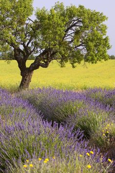 Lone Tree, Lavender and Mustard Fields Near Valensole, Provence, France-Brian Jannsen-Photographic Print Landscape Photos, Landscape Paintings, Dame Nature, Valensole, Lone Tree, Provence France, Amazing Nature, Beautiful Landscapes, Beautiful World