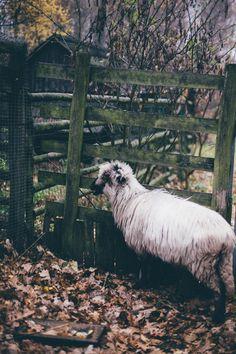 Beautiful longhaired sheep